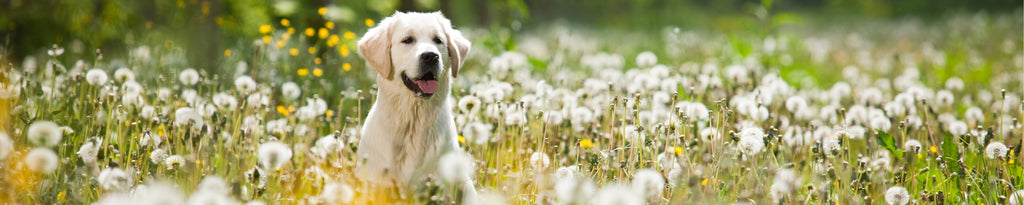young golden retriever posing between dandelions