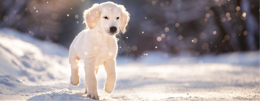 Puppy running in snow