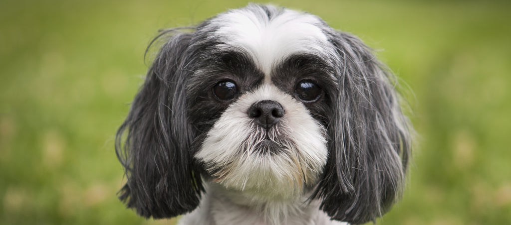 Shih Tzu staring at screen