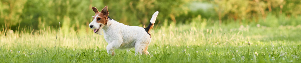 adorable wire fox terrier puppy enjoying running on the grass
