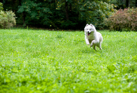 white dog happy running in grass