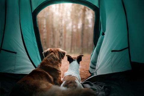 Two dogs relax on an adventure in the forest campsite