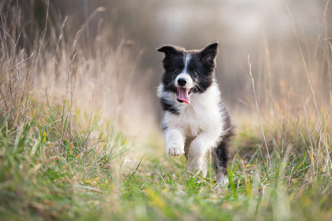 Young Collie running through field