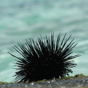 Could Eating Sea Urchins Save NSW's Southern Coastal Reefs?