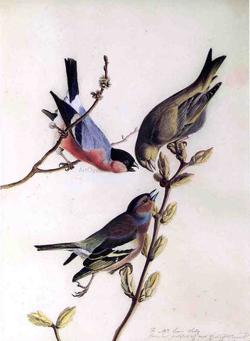 John James Audubon A Chaffinch, Bullfinch and Greenfinch on a Branch of Budding Chestnuts - Hand Painted Oil Painting