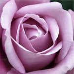 Our Original Collection Beautiful Purple Rose - Hand Painted Oil Painting