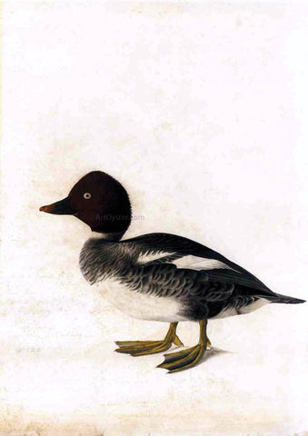 John James Audubon Redhead Duck - Hand Painted Oil Painting
