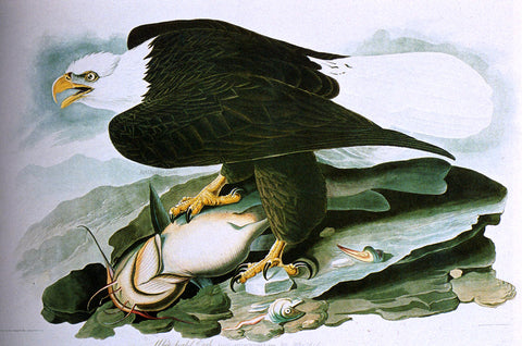 John James Audubon The Bald-Headed Eagle From Birds Of America - Hand Painted Oil Painting