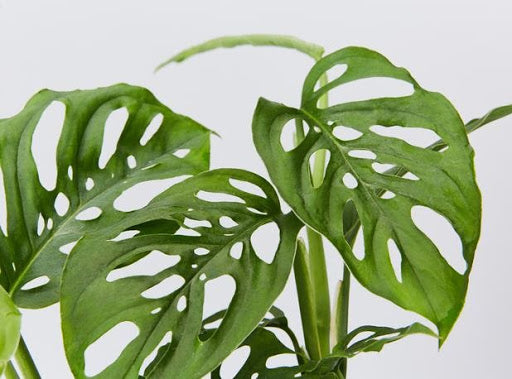 Houseplant Spotlight: Monstera