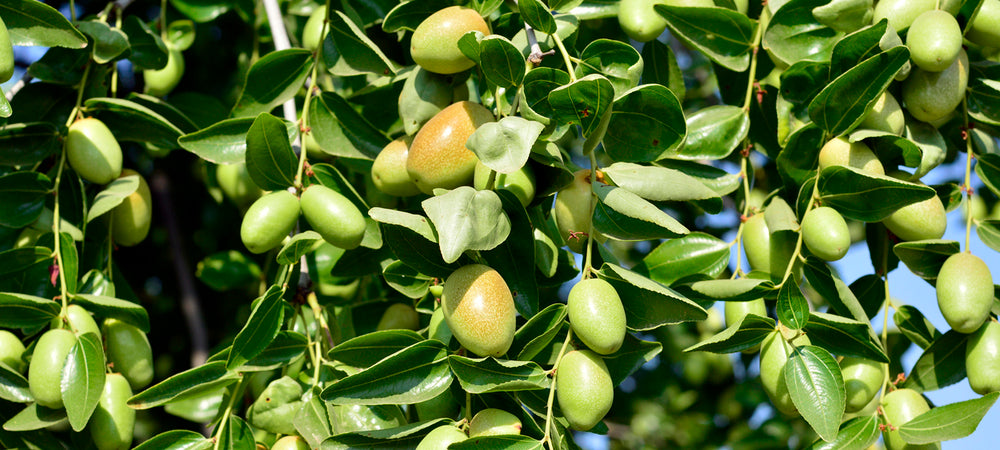 Jojoba Oil - Uses, Benefits and Recommended Jojoba Skincare Products