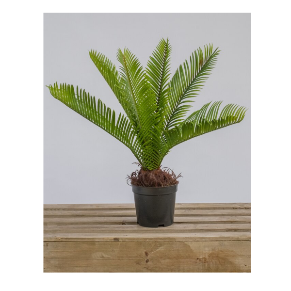 Cycas Potted 45cm