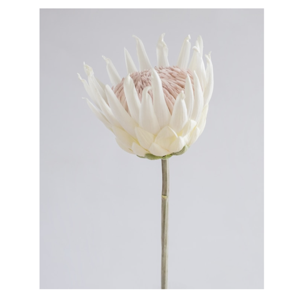 Queen Protea Open White 57cm