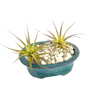 Air Plant Garden - Tree Gifts NZ