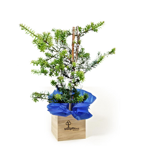 NZ Totara Matapouri Blue