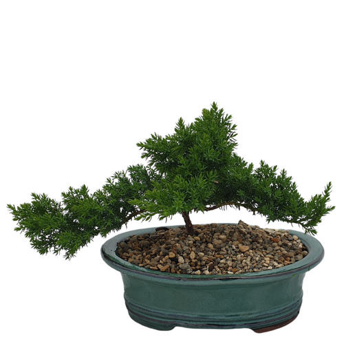 Bonsai Juniper - Teal