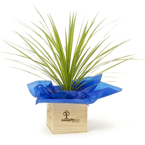 Cordyline Chocolate Mint Tree - Large - Tree Gifts NZ