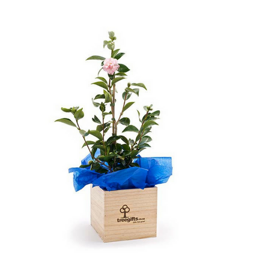 Camellia Tree one metre tall in wooden planter box delivered in NZ