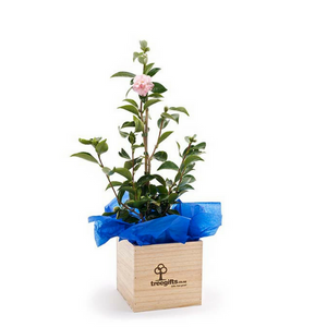 Large Camellia Plant Gift 1 metre tall in wooden gift box