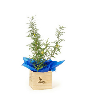 Kowhai Tree Gift 1 Metre tall delivered in wooden pine gift box planter