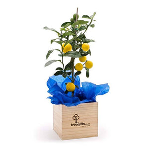 Lemon Tree Gift - Large - Tree Gifts NZ