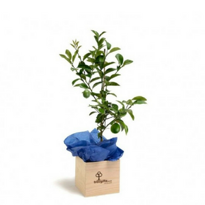 Lime Tree Gift - Large - Tree Gifts NZ