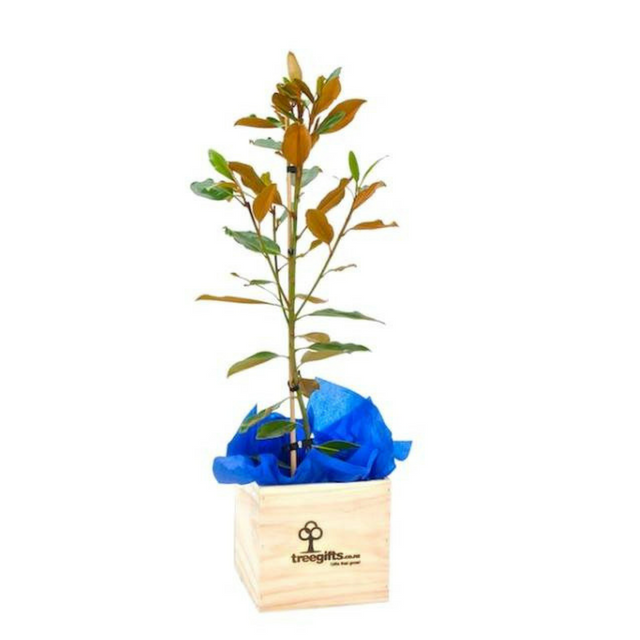 Magnolia Tree Gift - Large - Tree Gifts NZ