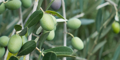 Olive (Tree of Peace)