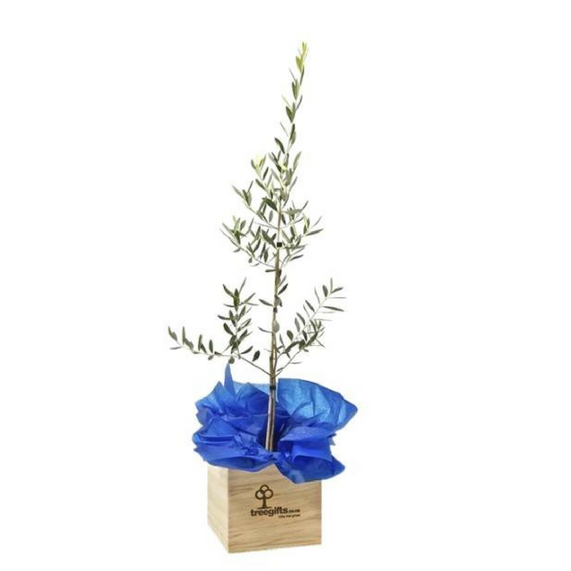 Olive (Tree of Peace) -  Large - Tree Gifts NZ