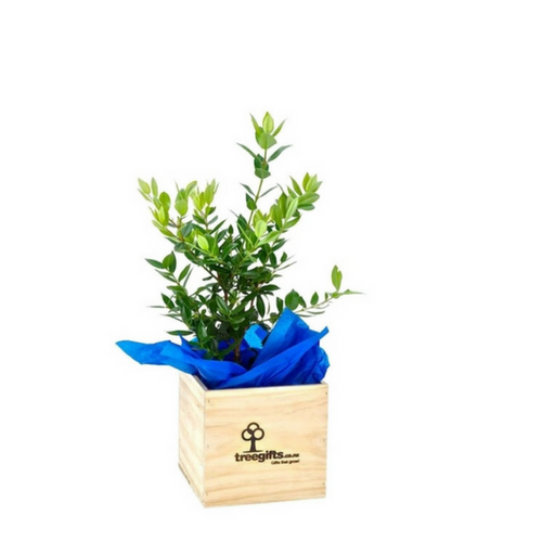 Pohutukawa Tree Gift - Large - Tree Gifts NZ