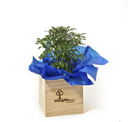 Plant Gift Delivery Nationwide - Mexican Orange Blossom NZ