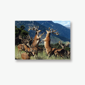 ODT Canvas Collection - Stags Boxing