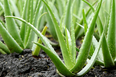 aloe vera extract for the face