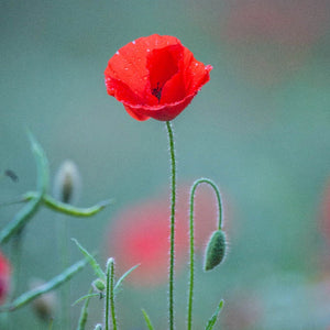 Poppies in Watercolour - Saturday 2nd November, 10am-12pm