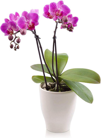 The Perfect Orchid