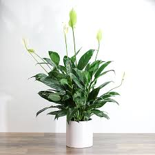 Spathiphyllum Plant (Peace lily)
