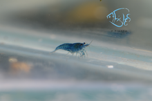 Load image into Gallery viewer, Blue Dream Cherry Shrimp