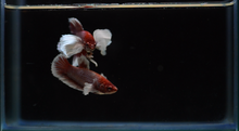 Load image into Gallery viewer, Dumbo HMPK Breeder Pack - Seven Fishes