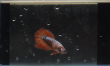 Load image into Gallery viewer, Marble Female Sorority Pack - 5 Females - Seven Fishes