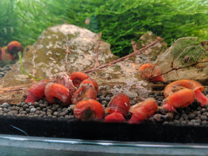 Red Ramshorn Snail - Seven Fishes