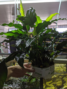 Anubias Emerald Heart - Mother Plant - Seven Fishes