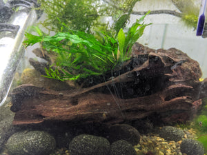 Crested Java Fern on Wood - Seven Fishes