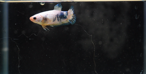 Marble Female Sorority Pack - 5 Females - Seven Fishes