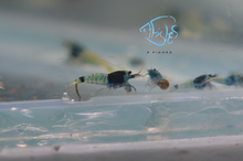 Load image into Gallery viewer, Mosura Blue Bolt Taiwan Bee Shrimp