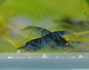 Orange Eye Blonde Tiger (OEBT) Bee Shrimp