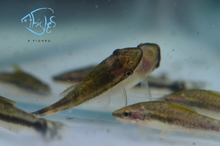Load image into Gallery viewer, Otocinclus Catfish