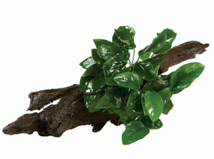 Anubias Nana on Driftwood - Small - Seven Fishes