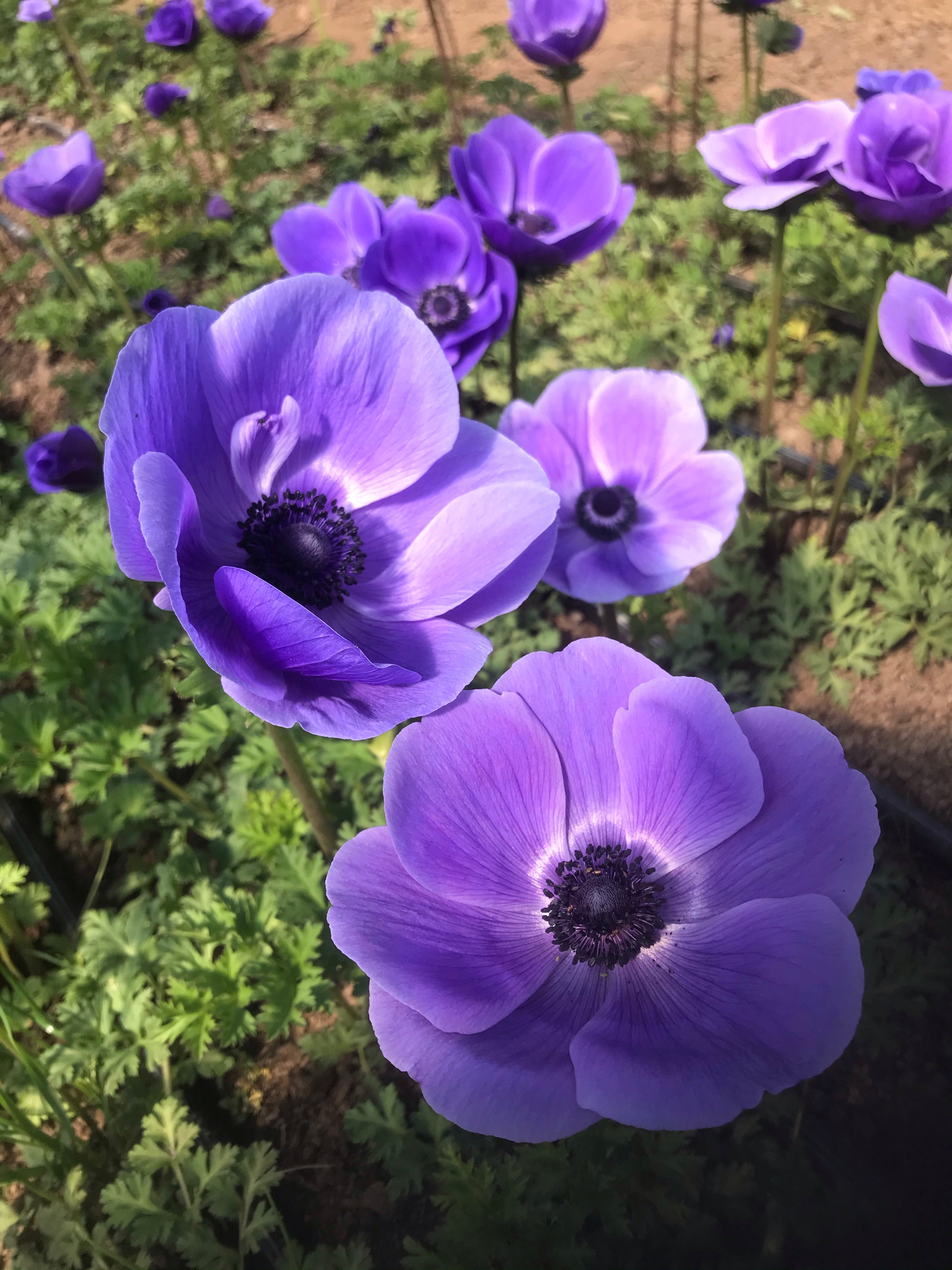 Anemone, blue/purple – 10-stem bunch