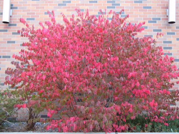 Euonymus alatus – Burning Bush
