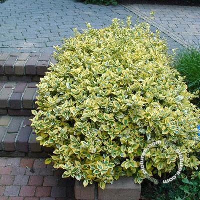 Euonymus 'Emerald n Gold' – Spindle