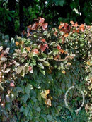 Fagus sylvatica 'Purpurea' - Copper Beech